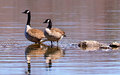 A pair of canadian geese wading in a lake their reflected images in the rippling water Stock Images