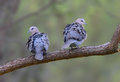 A pair of Cape Turtle Doves