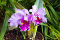 Pair of cattleya purple orchids. Pot garden beauty flowers Royalty Free Stock Photo