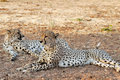 Pair of Cheetahs in the shade (Acinonyx jubatus) Stock Image