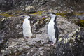 A pair of Chinstrap penguins Royalty Free Stock Photo