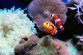 Pair of clown fish Stock Image