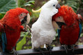 Pair of colorful Macaws interacting. Royalty Free Stock Photography