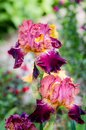 A pair of colourful bearded iris flowers with shades of pink, violet and yellow Royalty Free Stock Photo