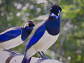 pair of common magpies (birds) Royalty Free Stock Photo