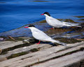 Pair of common Terns Royalty Free Stock Images