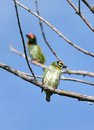 Pair of coppersmith barbet birds the also called as crimson breasted and is a bird with crimson forehead and throat Stock Images