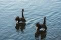 Pair of courting black swans on lake Royalty Free Stock Image