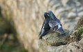 A pair of courting Feral Pigeons Columba livia perched on the edge of a cliff. Royalty Free Stock Photo