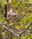 Pair of the Croaking Ground Dove Royalty Free Stock Photography