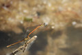 A pair of damsel flies the male has red abdomen and blue upper parts and eyes the female is brown Royalty Free Stock Image