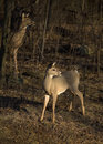 Pair of deer Stock Photo