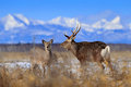 Pair of deer. Hokkaido sika deer, Cervus nippon yesoensis, in the snow meadow. Winter mountains and forest in the background. Anim Royalty Free Stock Photo