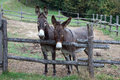Pair of donkeys observe the photographer Stock Photography