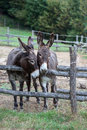 Pair of donkeys observe the photographer Stock Image