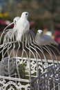 A pair of doves white decoration perched upon white wire cage against colorful blurred backdrop Royalty Free Stock Photography