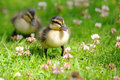 Pair of Ducklings Waddling Through Grass Royalty Free Stock Photography