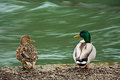 Pair of ducks in love Royalty Free Stock Photo