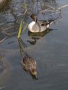 A pair of ducks swimming in the pond two beautiful wild brown and green sedge grows vertically Royalty Free Stock Photos