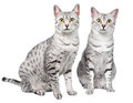 Pair of Egyptian Mau Cats Royalty Free Stock Image