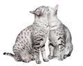 Pair of Egyptian Mau Cats Grooming Stock Image