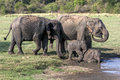 A pair of elephants with young calves bathe at the edge of a waterhole in Minneriya National Park. Royalty Free Stock Photo