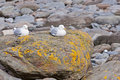 Pair of European Herring Gulls Stock Photos