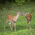 Pair of fawns Stock Images