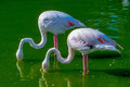 A pair of flamingoes two the old world eating in lake Royalty Free Stock Photography