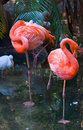 Pair of Flamingos Royalty Free Stock Photo