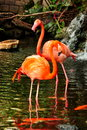 Pair flamingos wade water looking something to eat Stock Image