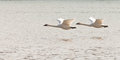Pair of flying trumpeter swans cygnus buccinator graceful mating adult white over water with their necks extended as they migrate Royalty Free Stock Images