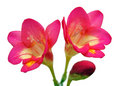 A Pair of Freesia Flowers Royalty Free Stock Photos