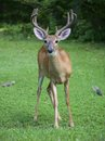 Pair of friend whitetail buck with velvet antlers with two squirrels nearby Stock Photos