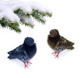 Pair  frozen pigeons Stock Photo
