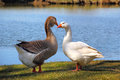 Pair of geese by the pond on a sunny day Royalty Free Stock Photos