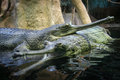 Pair of gharials in water resting Stock Photos