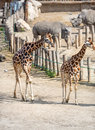 Pair of giraffe baringo camelopardalis rothschildi Royalty Free Stock Image