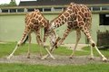 Pair of giraffe at zoo the Stock Images