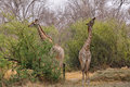 Pair of giraffes eating moremi game reserve botswana Royalty Free Stock Image