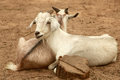 Pair of goats Royalty Free Stock Photo