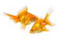 Pair of goldfish isolated on white background Stock Image