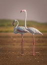 A pair of greater flamingo bird Royalty Free Stock Photo