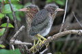 Pair of Green Heron Nestlings Royalty Free Stock Photo