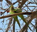 A pair of green parrots on a tree branch.