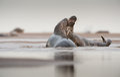 Grey Seal courtship Royalty Free Stock Photo