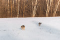 Pair of Grey Wolves Canis lupus Move Across Snowy Field
