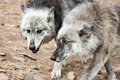 Pair of grey wolves Royalty Free Stock Photo
