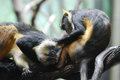 Pair of Grooming Wolf`s Guenon Monkeys in the Wild Royalty Free Stock Photo