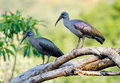 Pair of hadadas on a tree hadada ibis birds perched dead branch in soft light Royalty Free Stock Photos